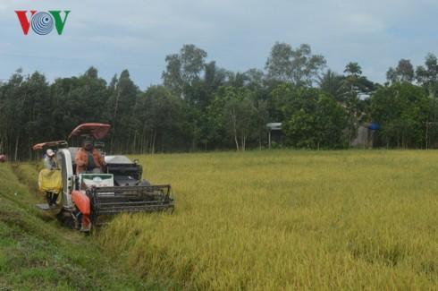 Lo doanh nghiệp bỏ tiền cọc, không thu mua lúa vì giá quá thấp - Ảnh 2.