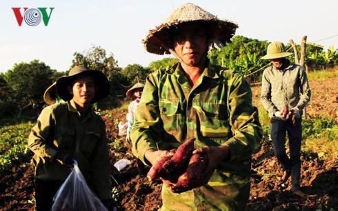 Nông dân Gia Lai lao đao vì không tìm được đầu ra cho khoai lang Nhật - Ảnh 1.