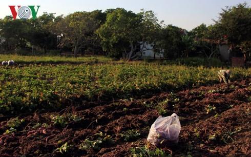 Nông dân Gia Lai lao đao vì không tìm được đầu ra cho khoai lang Nhật - Ảnh 2.