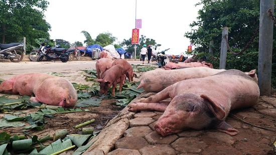 Xuất hiện dịch tả lợn châu Phi tại Thanh Hóa - Ảnh 1.