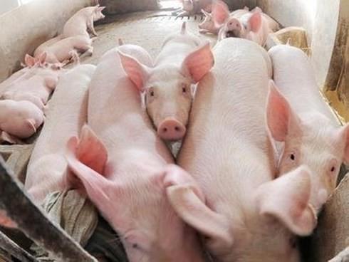 """Xôn xao thông tư """"cấm lợn ăn bèo, chuối"""": Bộ Nông nghiệp nói gì? - Ảnh 1."""
