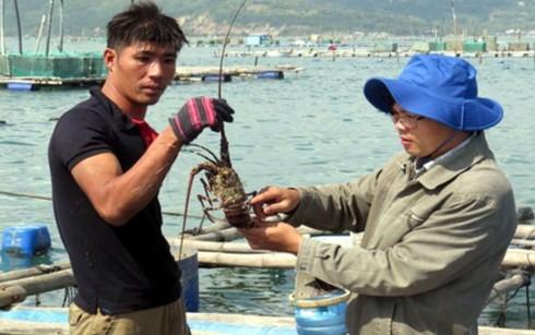 Tôm hùm nuôi chết hàng loạt khiến người dân Phú Yên lao đao - Ảnh 1.