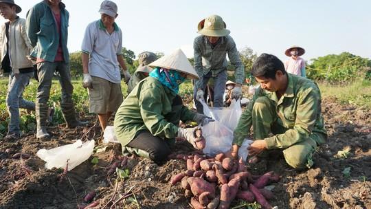 Lập chiến dịch giải cứu khoai lang giúp nông dân Gia Lai - Ảnh 4.