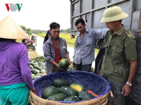 Quảng Nam: Dưa hấu được giá, nông dân phấn khởi - Ảnh 2.