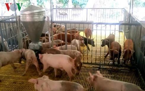 Thương lái tranh nhau mua heo, người chăn nuôi vẫn lo lắng - Ảnh 1.