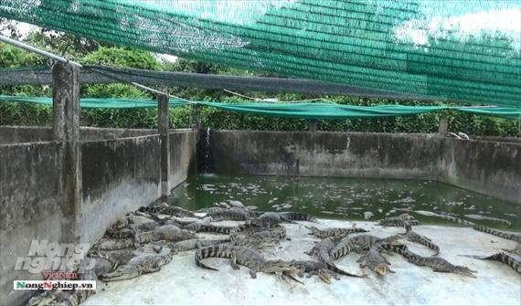 Trang trại cá sấu lớn nhất miền Tây, thu hơn 40 tỷ đồng/năm - Ảnh 2.