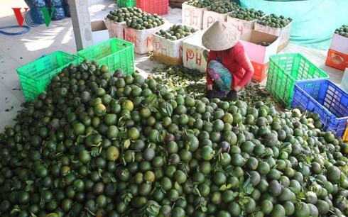 Giá cam sành trái vụ ở đồng bằng sông Cửu Long tiếp tục giảm mạnh - Ảnh 1.