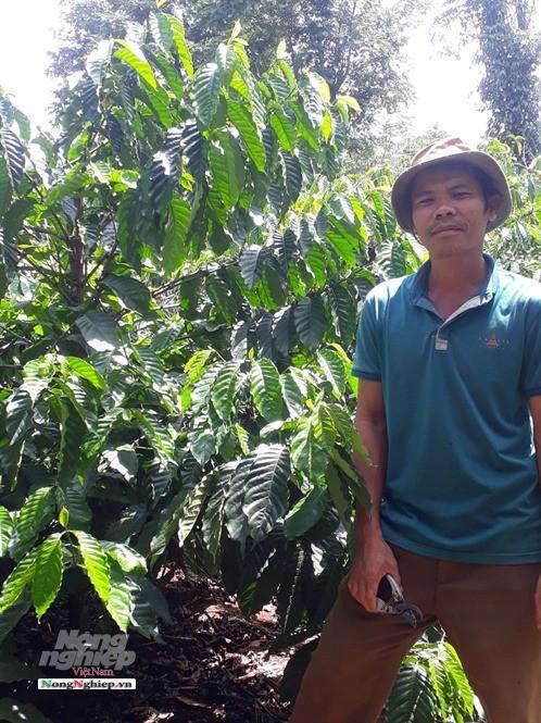 Tây Nguyên: Cà phê hạ giá, nông dân điêu đứng - Ảnh 1.