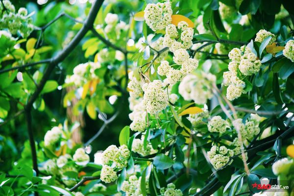 Hà Nội những ngày hoa sữa trái mùa: Nắng đó, nóng đó nhưng cũng lắm tinh khôi! - Ảnh 1.