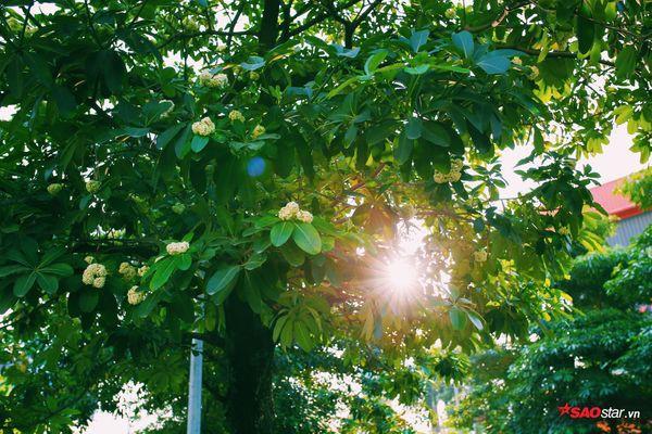 Hà Nội những ngày hoa sữa trái mùa: Nắng đó, nóng đó nhưng cũng lắm tinh khôi! - Ảnh 11.