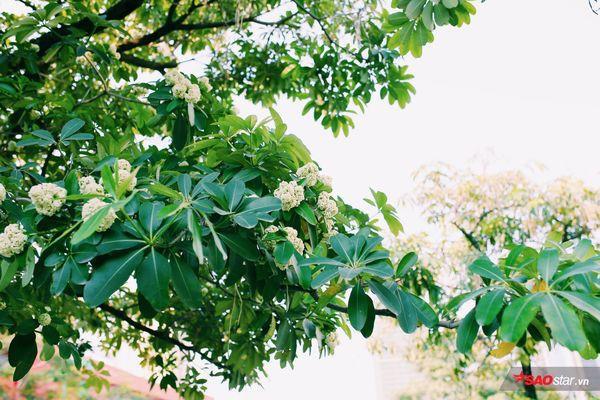 Hà Nội những ngày hoa sữa trái mùa: Nắng đó, nóng đó nhưng cũng lắm tinh khôi! - Ảnh 6.