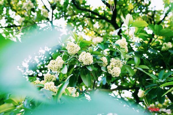 Hà Nội những ngày hoa sữa trái mùa: Nắng đó, nóng đó nhưng cũng lắm tinh khôi! - Ảnh 8.