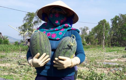 Sau giải cứu, nông dân Quảng Ngãi lãi khủng với dưa hấu - Ảnh 2.