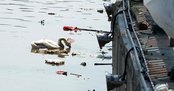 Hải Phòng kêu gọi không ném rác xuống đàn thiên nga trên sông Tam Bạc  - Ảnh 1.