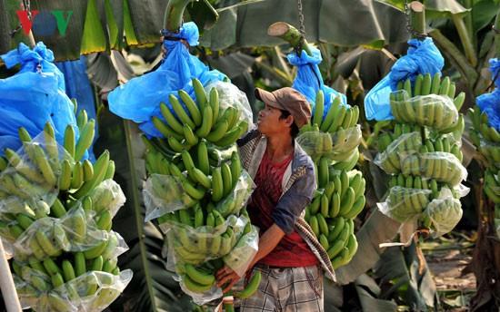 Nông dân Lai Châu lại khó tiêu thụ chuối do quy định từ Trung Quốc - Ảnh 1.