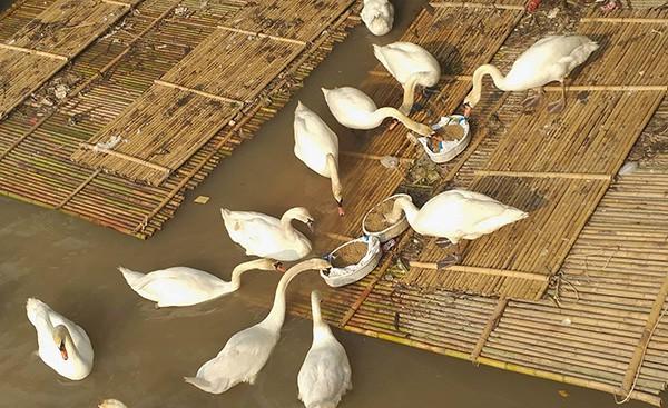 Hải Phòng kêu gọi không ném rác xuống đàn thiên nga trên sông Tam Bạc  - Ảnh 3.