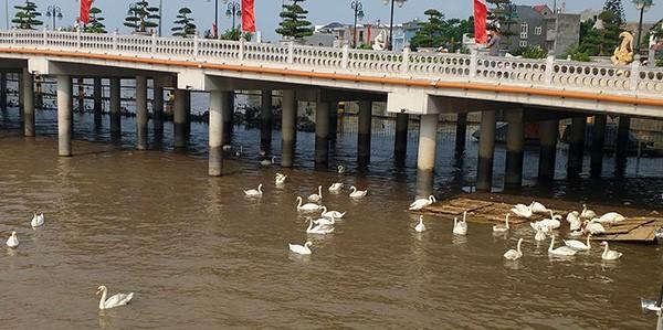 Hải Phòng kêu gọi không ném rác xuống đàn thiên nga trên sông Tam Bạc  - Ảnh 4.
