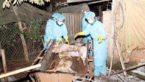 Quảng Bình xuất hiện ổ dịch tả lợn châu Phi đầu tiên tại huyện Minh Hóa - Ảnh 1.