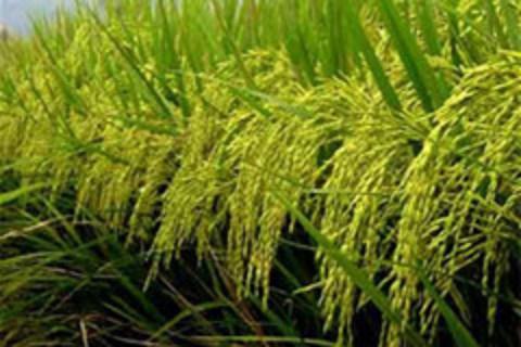 Giá gạo Thái Lan tăng mạnh so với các nước khác ở châu Á - Ảnh 1.