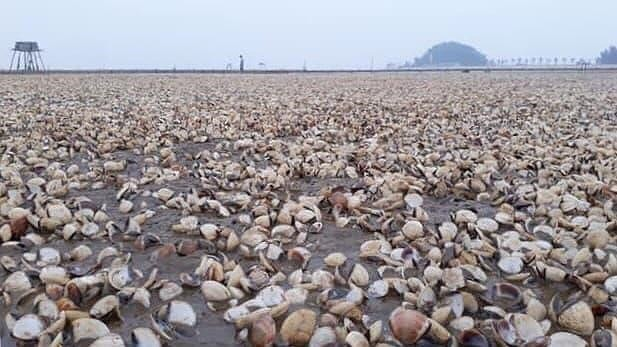Sau bão số 3, ngao chết nổi trắng biển Thái Bình - Ảnh 2.