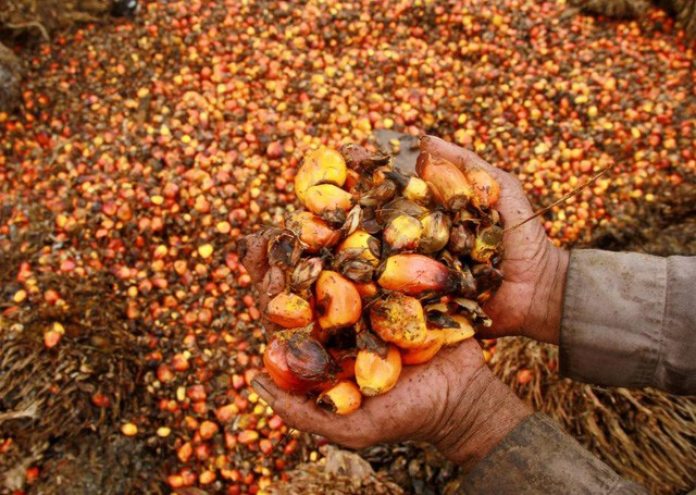 Cơn khát dầu cọ: Cội nguồn của việc cháy rừng hàng loạt tại Indonesia, khiến toàn Đông Nam Á ngập chìm trong ô nhiễm không khí - Ảnh 3.