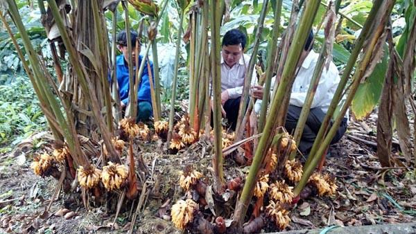 Người dân thu hàng trăm tỷ đồng mỗi năm nhờ thảo quả - Ảnh 1.