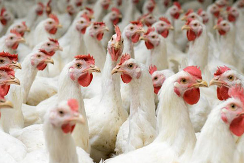 Gà bán rẻ như rau, thịt gà nhập khẩu vẫn ùn ùn đổ về - Ảnh 1.