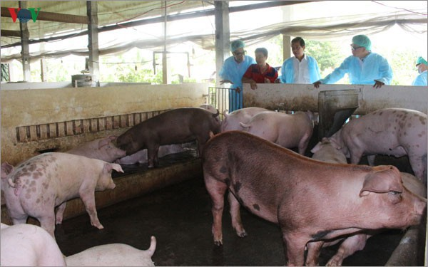 Dịch tả lợn châu Phi ở Cần Thơ diễn biến phức tạp - Ảnh 2.