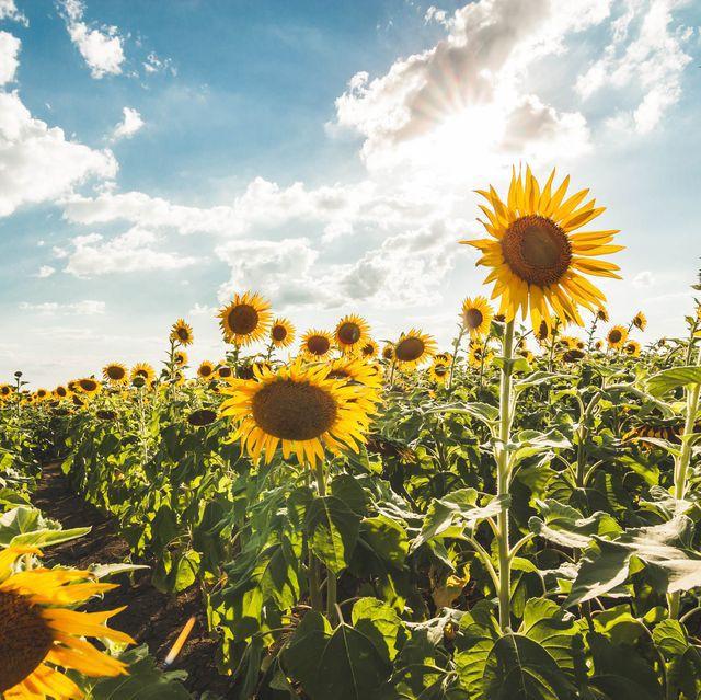 """""""Choáng váng"""" với cánh đồng hoa hướng dương triệu bông đẹp như bức tranh khổng lồ vào mùa thu ở Nhật Bản - Ảnh 11."""