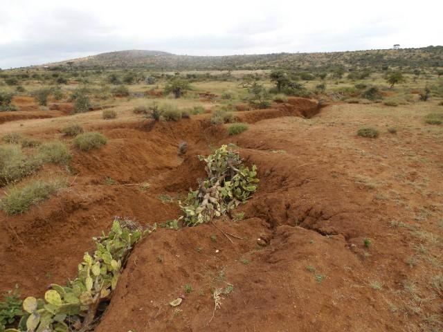 Xương rồng ác quỷ - mối đe dọa mới của nông dân Kenya - Ảnh 1.