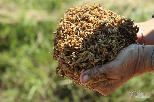 Thóc nảy mầm vứt cho trâu ăn, dân rơi nước mắt lo ngày mai - Ảnh 3.