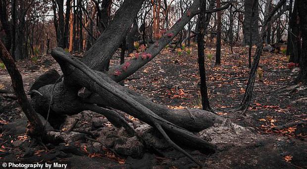 Phượng hoàng lửa tái sinh từ đống tro tàn: Những mầm sống vươn mình tại nơi hứng chịu sự càn quét của thảm họa cháy rừng - Ảnh 1.