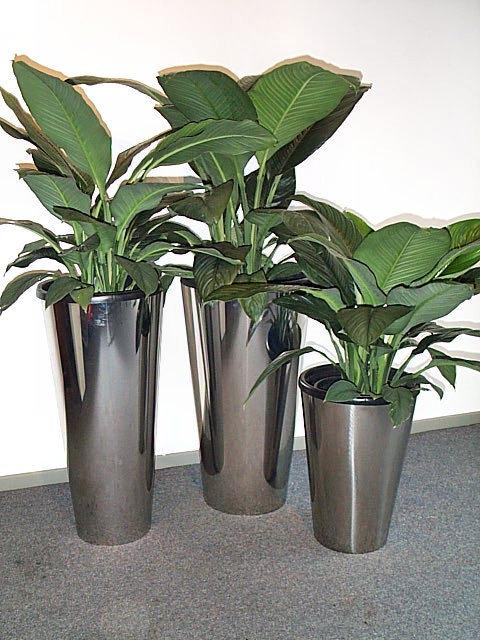 Kết quả hình ảnh cho Cây lan ý trồng như thế nào ?