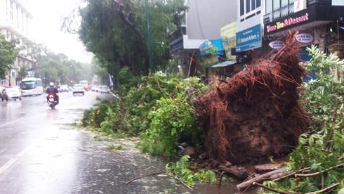 Gió giật mạnh khiến nhiều cây to trên đường Lý Thường Kiệt bật gốc