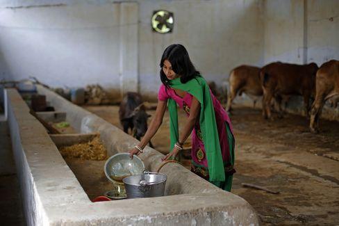 Cô Susheela Kumari thu thập nước tiểu bò