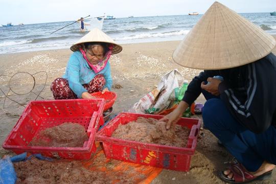 Ngư dân Quảng Bình hối hả thu hoạch ruốc biển đưa về bán