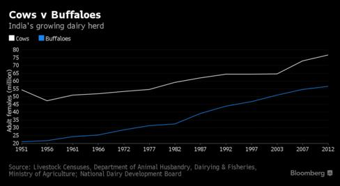 Số bò và trâu cái trưởng thành tại Ấn Độ đang tăng nhanh (triệu con)