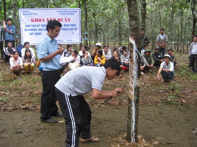 Nông dân xã Sơn Định (huyện Sơn Hòa) tham gia dự án cao su tiều điền được tập huấn cạo mủ