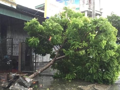 Nhiều cây xanh ở Quảng Ninh bị ngã đổ