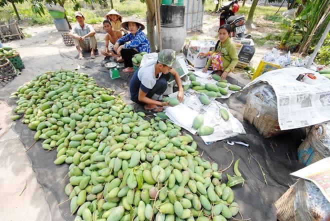 Nông dân trồng xoài Đài Loan ở An Giang Ảnh: Ngọc Trinh