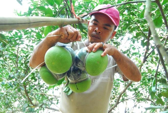 Nông dân trồng bưởi điêu đứng vì thông tin ăn nhiều bưởi gây ung thư vú. Ảnh: Ngọc An