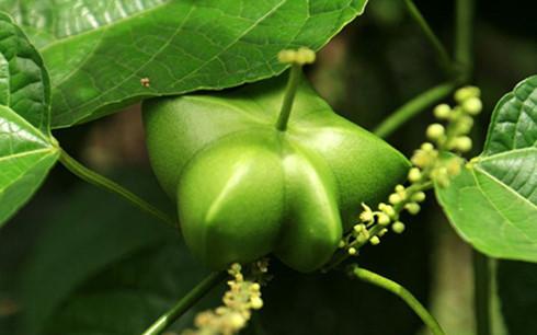"""Quả Sachi sau khi được trồng và thu hoạch được mênh danh là""""Ông vua của các loại hạt"""", """"Siêu thực phẩm mới""""…"""