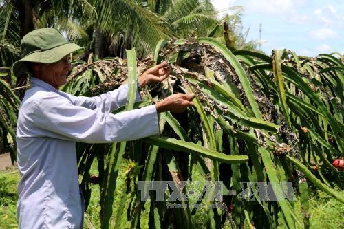 Hơn 200 gốc thanh long của ông Nguyễn Thanh Khiết, xã Thành Phú, huyện Cái Nước đang nhiễm bệnh khiến nâng suất giảm đến 70%. Ảnh: Kim Há/TTXVN