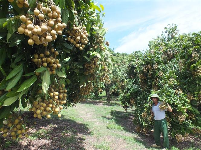 Một số vườn nhãn ghép 3 năm tuổi trồng trên đất dốc, đã cho những chùm quả 2-3 kg/chùm, tương đương giá trị 1 yến ngô