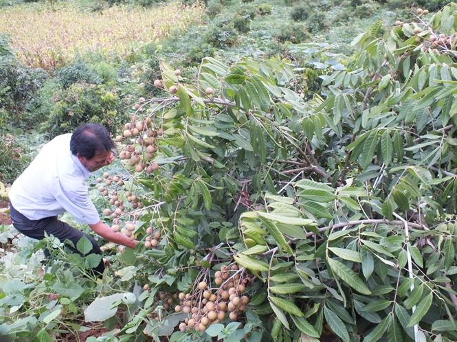 Sơn La sẽ đưa cây ăn quả lên đất dốc