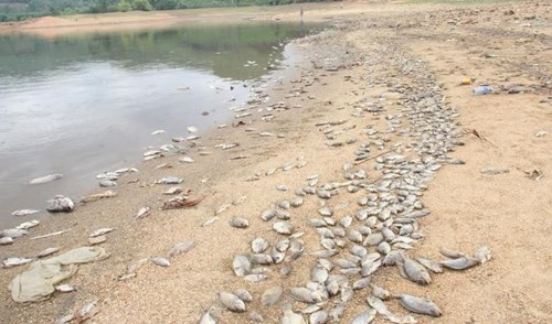 """5 năm trước hiện tượng cá chết cũng đã xuất hiện, cơ quan chức năng đã về khảo sát đem nước, cá để xét nghiệm nhưng cũng không có kết luận nguyên nhân gì. Có khả năng thời tiết khắc nghiệt, hồ không súc cạn được, lớp bùn dày hoặc do độc tố thức ăn đúng thời điểm thời tiết không thuận lợi"""" – anh Duyên nói."""