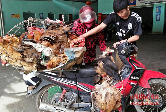 Thương lái đến mua gà tại nhà