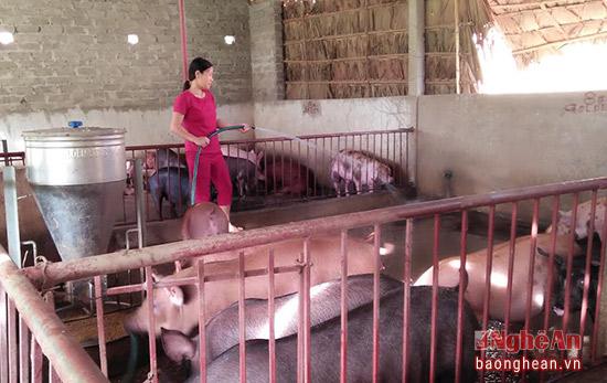Chị Sâm còn nuôi lợn thịt