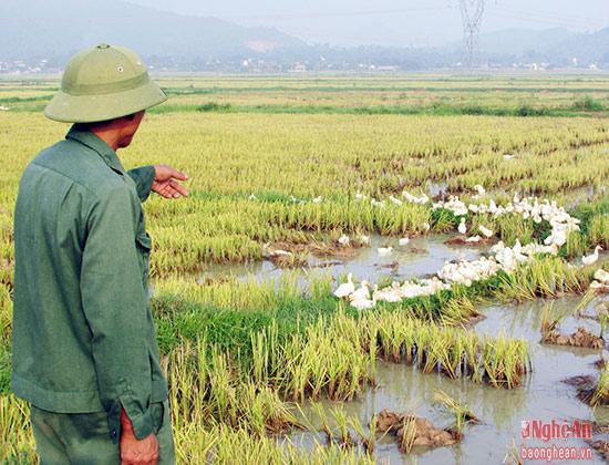 Nhiều năm nay, nuôi vịt thả đồng là nghề chăn nuôi truyền thống của người dân huyện lúa Yên Thành.