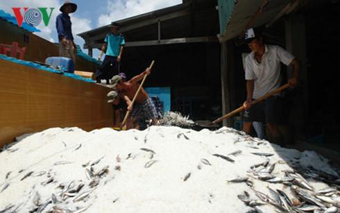 Nhân công của cơ sở Hồng Anh đang đảo trộn muối vào cá nục trước khi ủ vào thùng lều làm nước mắm